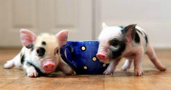 süß :) - (Tiere, Schwein)