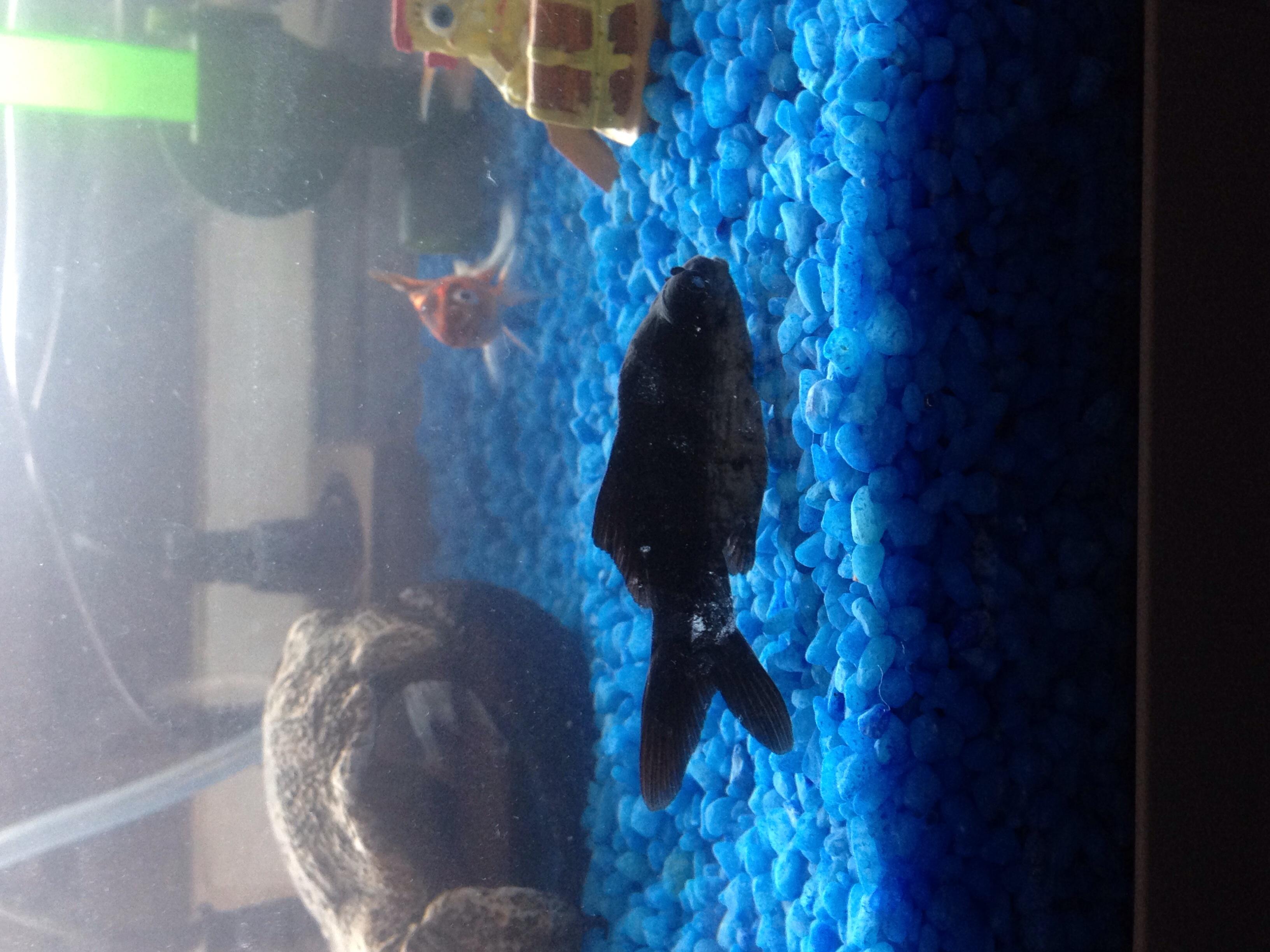 Teleskopaugefisch liegt nur am boden fische aquarium for Aquarium goldfische