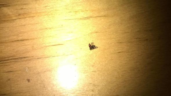 Flügel = Käfer? - (Käfer, Ungeziefer, Wanzen)