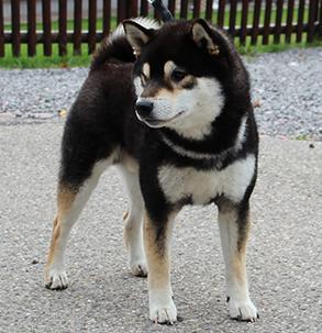 Hier ein bild von einem Shiba Inu so in diese rassen richtung wäre gut - (Hund, Welpen, Tierheim)