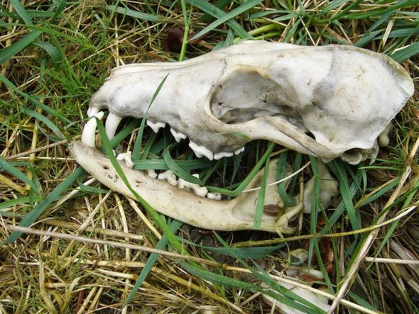 Schädel von welchem Tier? - (Medizin, Tiere, Knochen)