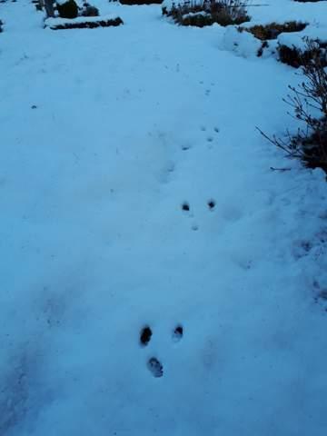 Tierspuren im Schnee - welches Tier hat denn solche großen Füße und so einen langen Schritt?