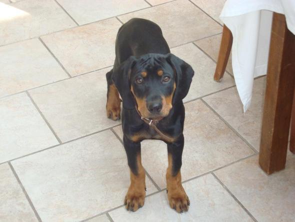 Unsere Tiroler Bracke - (Tiere, Hund, Bracke als Haushund)