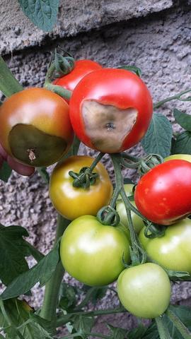 jede reife Tomate sieht so aus - (Tomaten, Tomatenflecken)