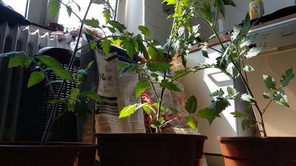 - (Pflanzen, Tomaten, umtopfen)