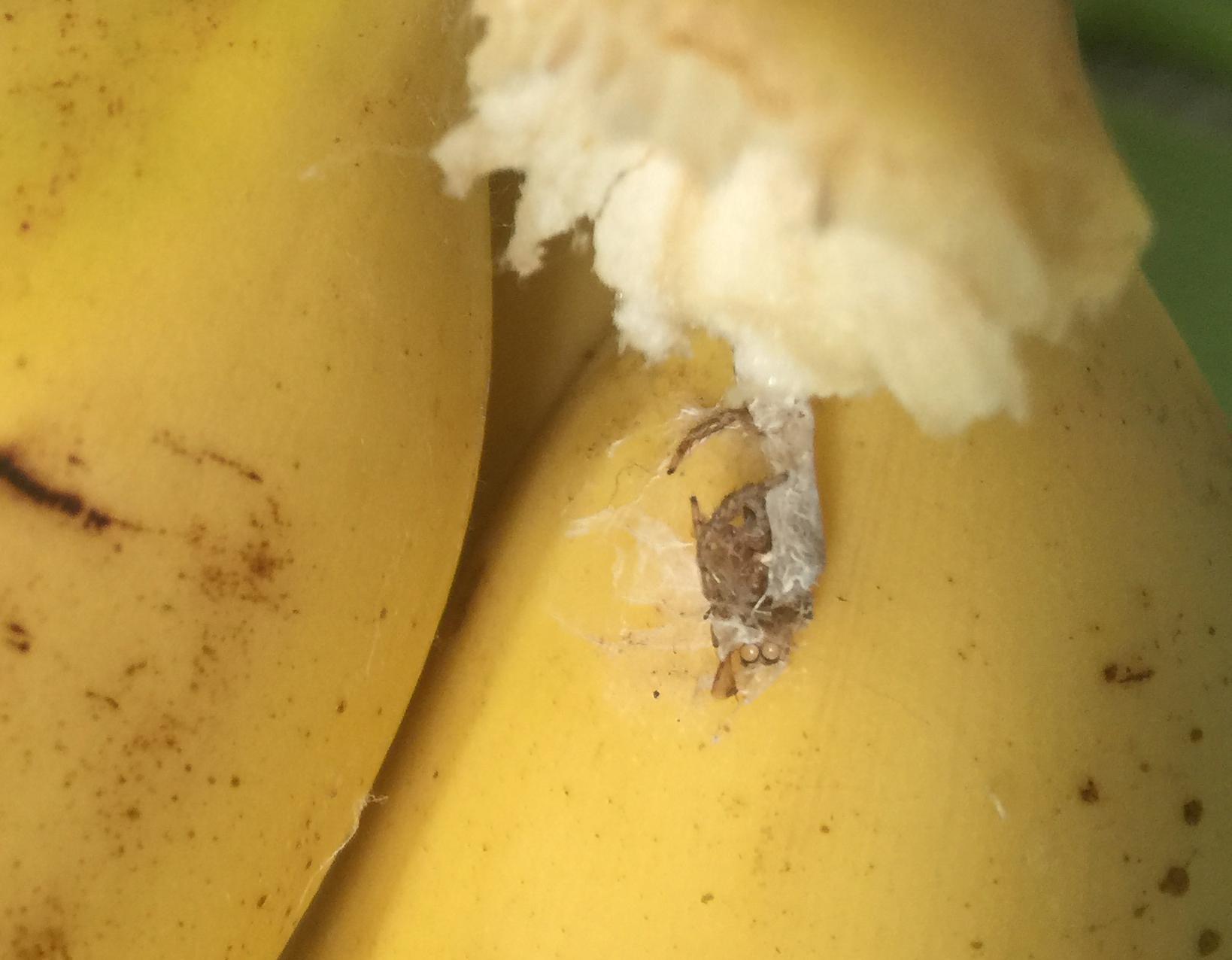 Bananenspinne Eier In Banane
