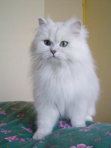 Semi Punch Face Cat