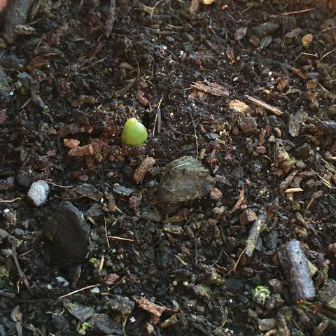 So weit gucken sie raus  - (Pflanzen, Balkon, Tulpen)