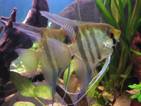 Skalar - (Freizeit, Aquarium, Algen)