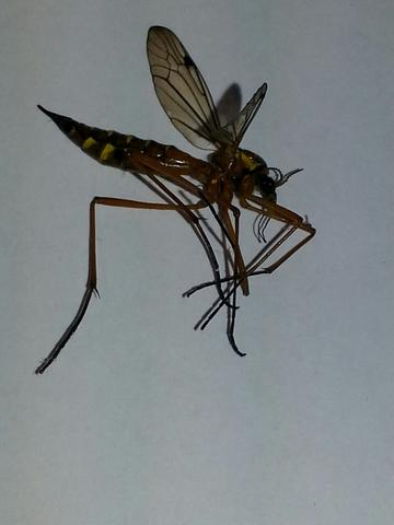 um was f r eine art insekt handelt es sich auf dem foto es hat die gr e eines schneiders und. Black Bedroom Furniture Sets. Home Design Ideas