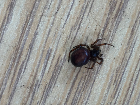 Spinne  - (Spinnen, Spinne)