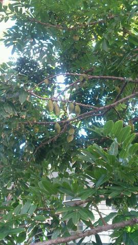 frucht am buch - (Australien, Früchte, exotische Früchte)