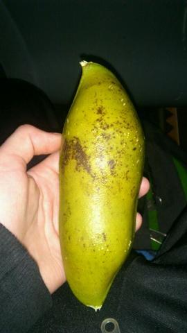 die Geschlossene frucht, ca 18 cm lang und einen durchmesser von 6 cm  - (Australien, Früchte, exotische Früchte)