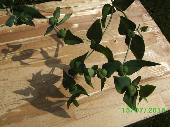 Mir unnbekannte Pflanze - (Biologie, Pflanzen, Botanik)