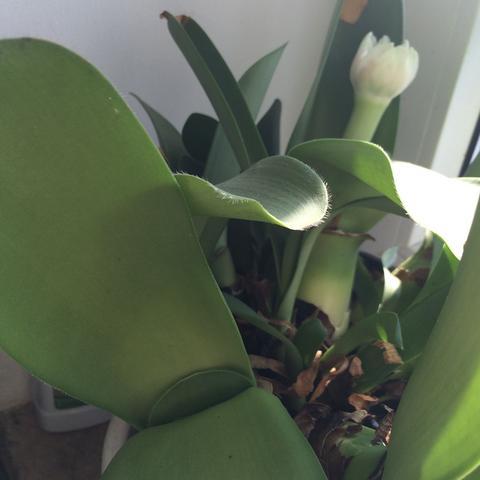 um welche pflanzenart handelt es sich hier keine amaryllis pflanzen blumen hnlichkeit. Black Bedroom Furniture Sets. Home Design Ideas