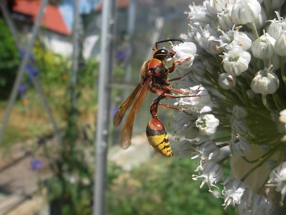 wespe - (Insekten, Wespen, Lehmwespe)