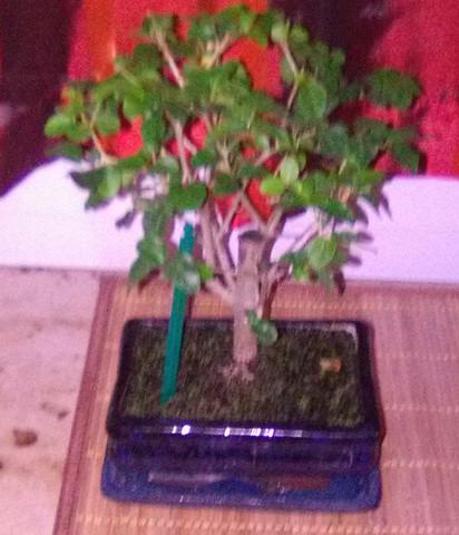 Bonsai - (Pflanzen, Entspannung, Zimmerpflanzen)