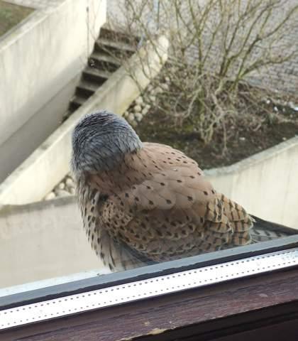Um welchen Greifvogel handelt es sich hier?