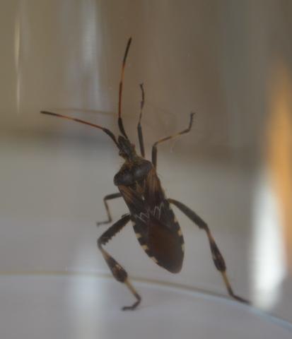 Um Welchen Käfer Handelt Es Sich Hierbei