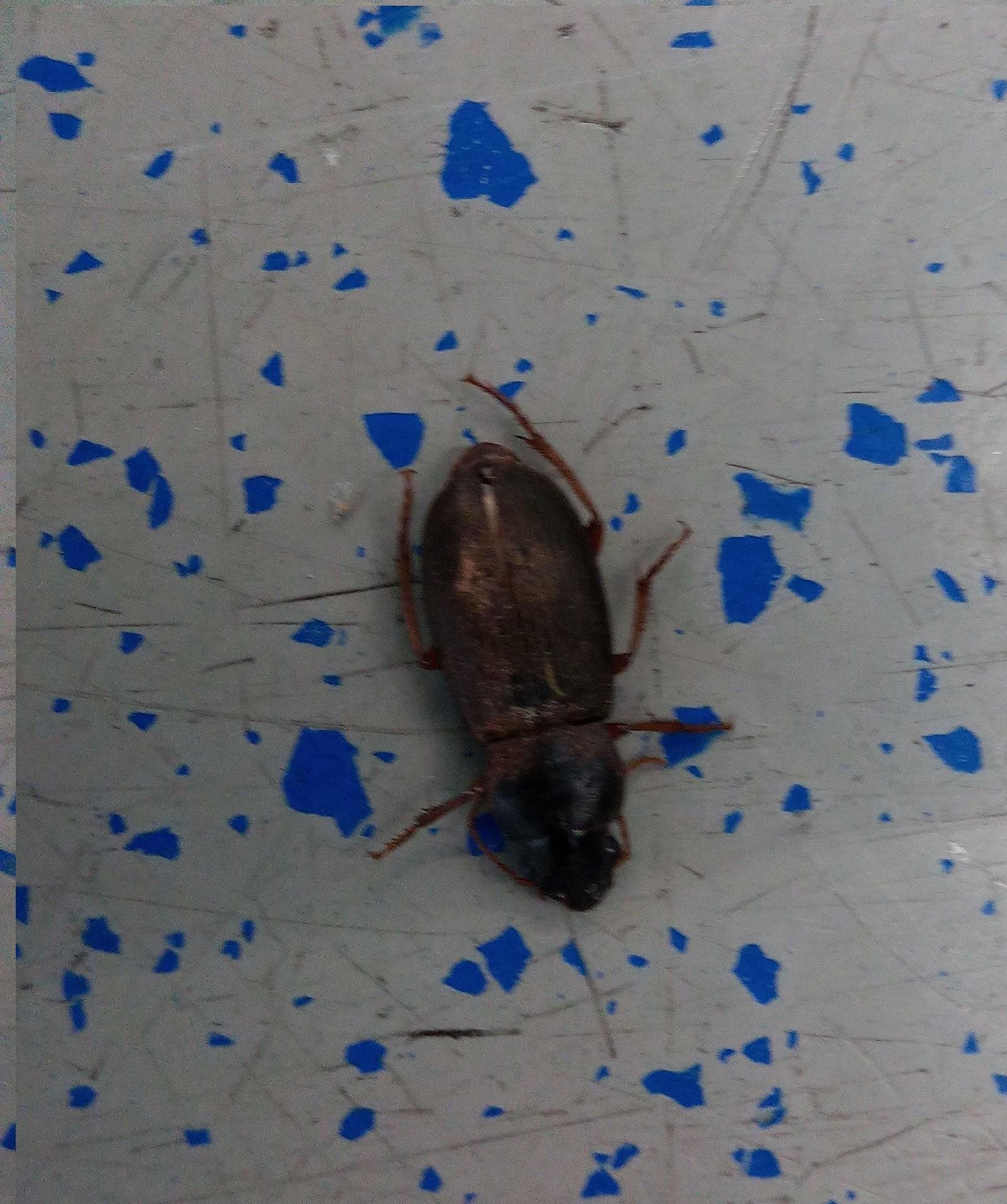 um welches insekt handelt es sich ist es eine kakerlake insekten sch dlinge kakerlaken. Black Bedroom Furniture Sets. Home Design Ideas