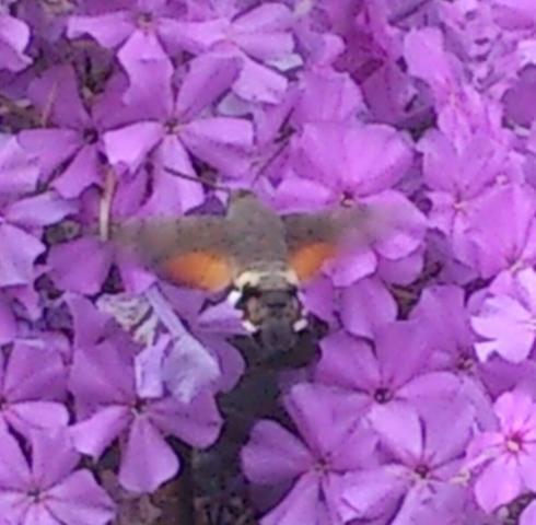Flattermann - (Tiere, Schmetterling)