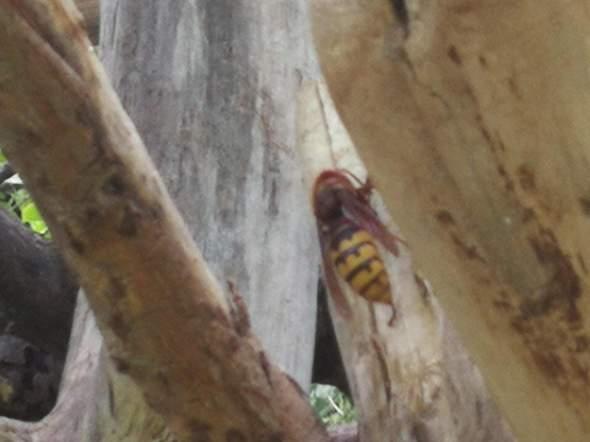 um welches wespenart handelt es sich insekten wespen