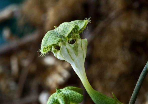 Blüte - (Pflanzen, Zimmerpflanzen, dickblattgewächse)