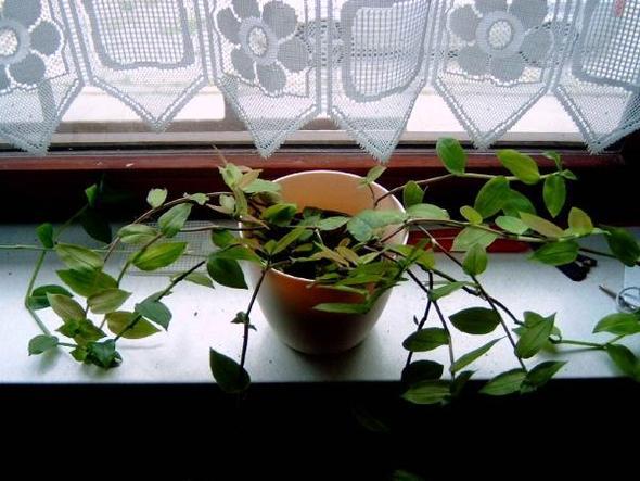 unbekannte pflanze wie ableger machen pflanzen ranken. Black Bedroom Furniture Sets. Home Design Ideas