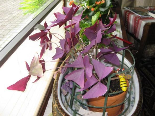 unbekannte zimmerpflanze mit lila bl ttern pflanzen. Black Bedroom Furniture Sets. Home Design Ideas