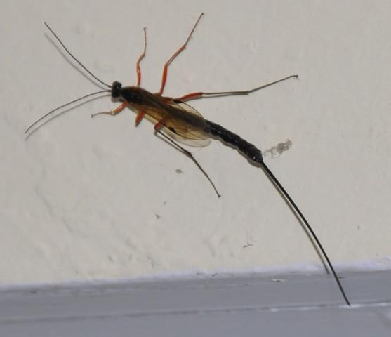Insekt Bild 3 - (Insekten, Wespen, Holzschlupfwespe)