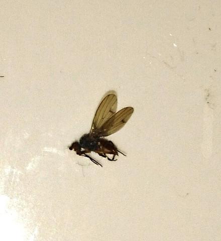 Unbekanntes Insekt im Badezimmer? (Tiere, Insekten, Schädlinge)