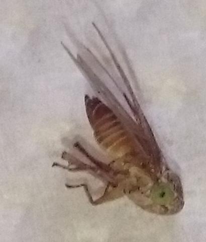 Kleines Insekt - (Insekten, Ungeziefer, Schädlinge)