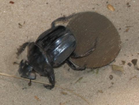 - (Insekten, Ägypten, Käfer)