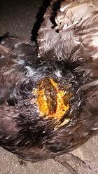 Das Huhn mit der starken Etzündung :( - (Medizin, Tierarzt)