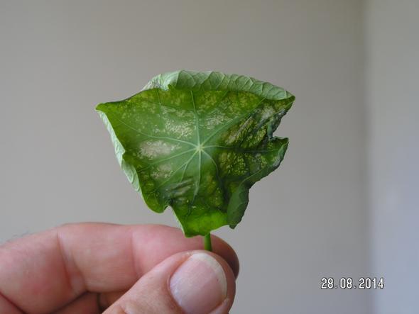 Krankes Kressse-Blatt - (Balkonpflanzen, Kresse, pflanzenkrankheiten)