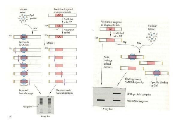 Footprinting und EMSA - (Biologie, Verzweiflung, Genetik)