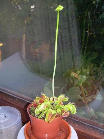 Venusfliegenfalle steht bald in Blühte, fragen stehen unten