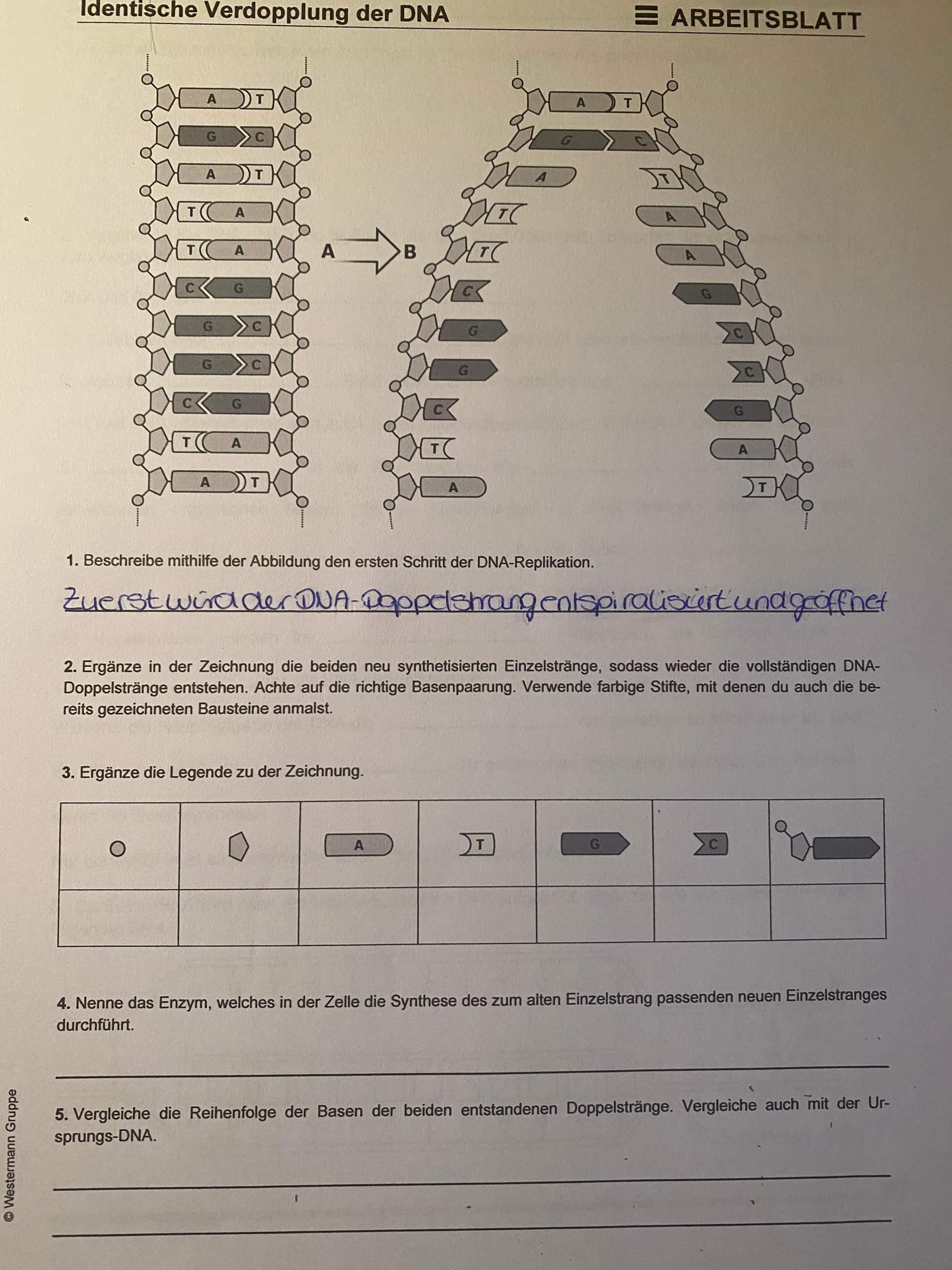 Verdopplung der DNA Biologie