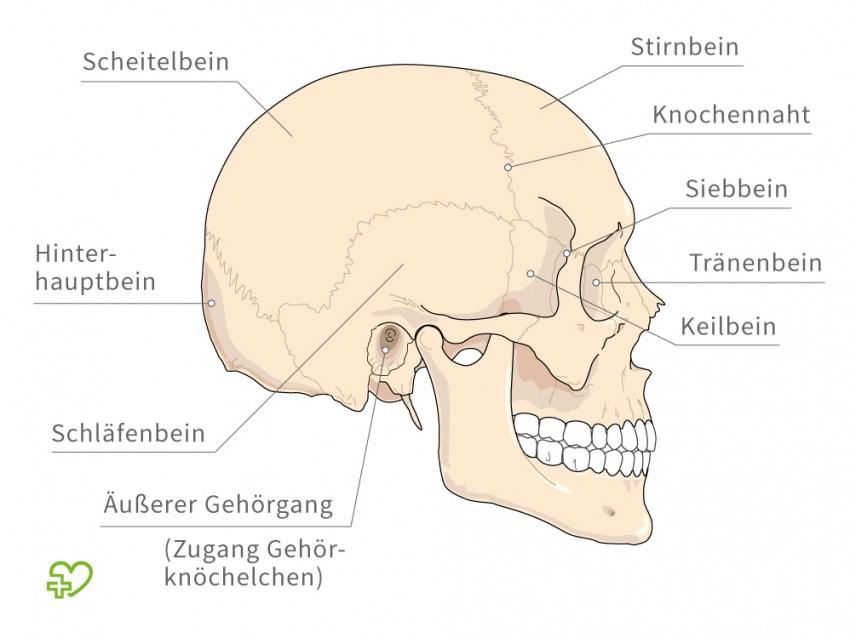 Fein Menschliche Anatomie Schädelknochen Zeitgenössisch - Anatomie ...