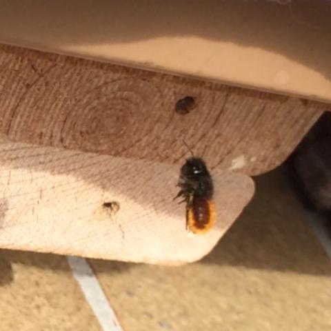 Hummel auf dem Weg zum Loch  - (Verhalten, Insekten, Bienen)