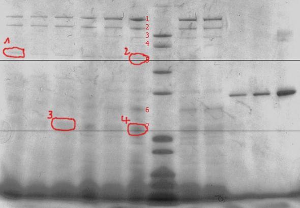 SDS-Page mit Markierungen - (Biologie, Wissenschaft, SDS-page)
