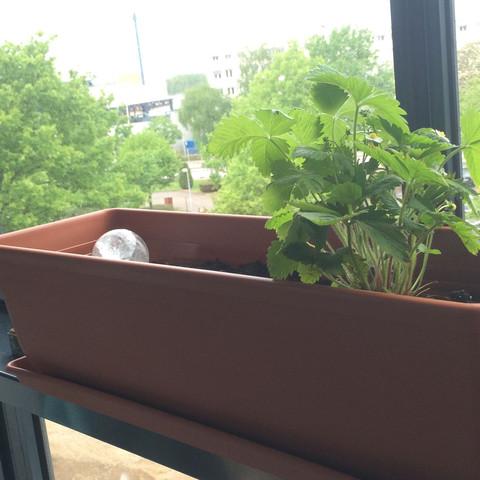 Erdbeertopf - (Gärtner, Erdbeeren, Sonnenblume)