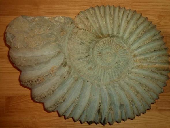 - (Fossil, Fossilien, Ammoniten)