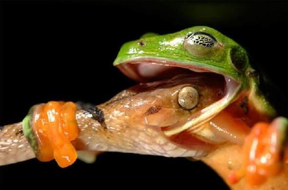 Versucht der Frosch die Schlange zu fressen oder die Schlange den Frosch?