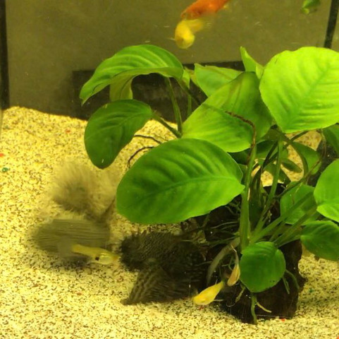 1. bild - (Fische, Aquarium, putzerfische)