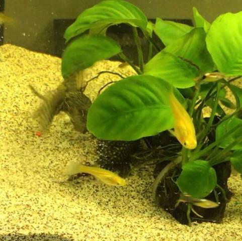 4. Bild  - (Fische, Aquarium, putzerfische)