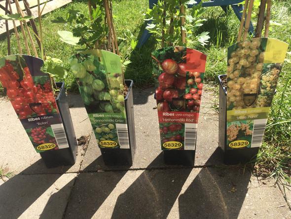 Vertragen sich diese Obststräucher untereinander wenn man sie nebeneinander einpflanzt?
