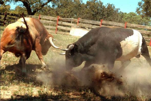 kämpfende Stiere - (Tiere, Kuh, Stier)