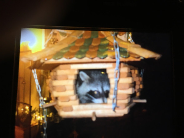Waschbär wohnt im Vogelhaus - (Tiere, Natur und Umwelt, Waschbär)