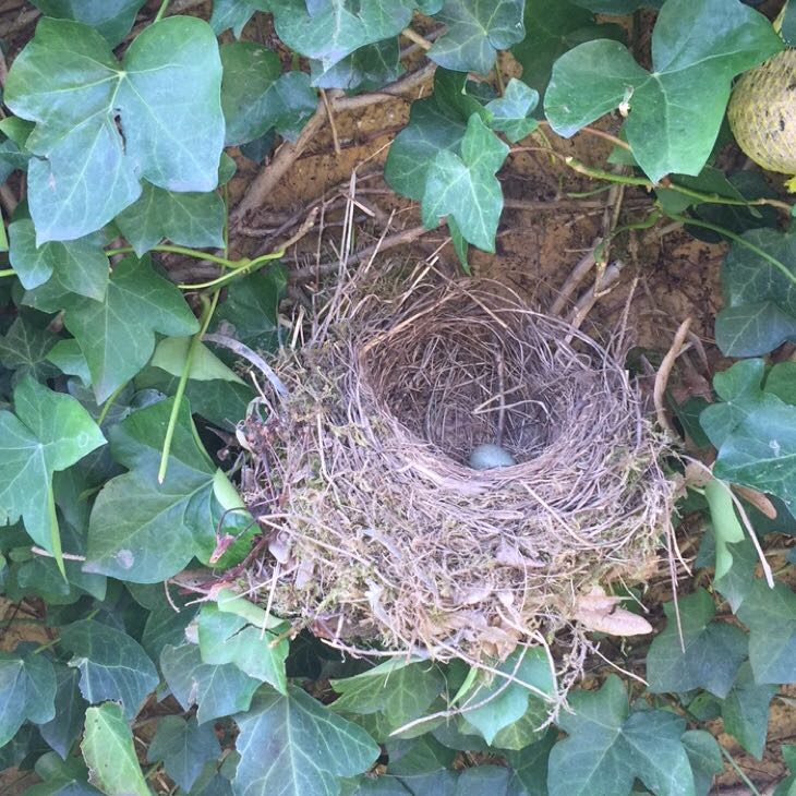 vogelnest im garten besch tzen v gel eier nest. Black Bedroom Furniture Sets. Home Design Ideas